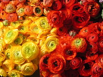 Ranunculus Buttercup Flower Bouquet at Farmer`s Market. Red, yellow, and orange buttercup (ranunculus) flowers bunched together at spring farmer`s Royalty Free Stock Image