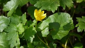 Ranunculus ficaria flower spring day in the meadow. Yellow flowers. stock footage