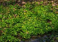 Ranunculus ficaria flowers Royalty Free Stock Photo