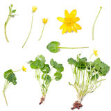Ranunculus ficaria (Lesser celandine) Royalty Free Stock Photo