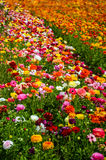 Ranunculus field. Colorful Ranunculus fields in Carlsbad, California, USA Stock Images