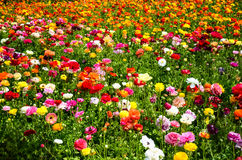 Ranunculus field Royalty Free Stock Image