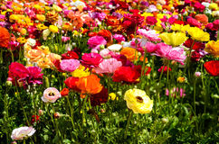 Ranunculus field Royalty Free Stock Photography