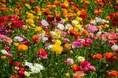 Ranunculus field Stock Images