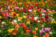 Ranunculus field Stock Photo