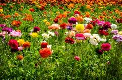 Ranunculus field Royalty Free Stock Photo