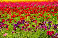 Ranunculus field Stock Image