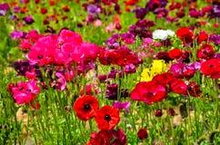 Ranunculus field Stock Photography