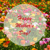Ranunculus field - imothers`s day concept Stock Photo