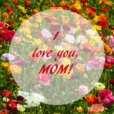 Ranunculus field - mothers`s day concept Royalty Free Stock Images