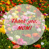 Ranunculus field - mothers`s day concept Stock Photo