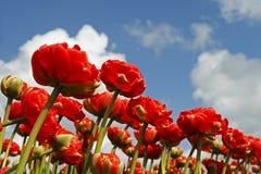 Ranunculus fields. Red Ranunculus field with a bleu sky Stock Image