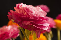 Ranunculus flower Stock Photo