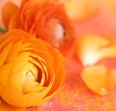 Ranunculus flower Royalty Free Stock Photos