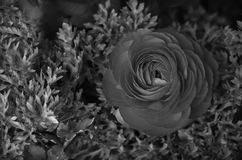 Ranunculus Flower. These beautiful flowers are the Buttercup Family (Ranunculaceae), and are native to the eastern Mediterranean royalty free stock photo