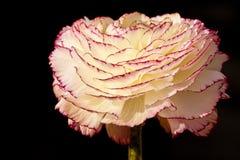Ranunculus flower closeup. White ranunculus flower in closeup Royalty Free Stock Photos