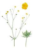 Ranunculus Royalty Free Stock Photography