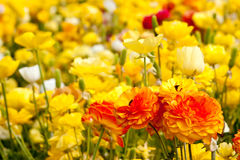 Ranunculus flower field Stock Images