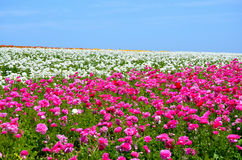 Ranunculus Flower Field Stock Photos