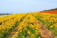 Ranunculus Flower Field Royalty Free Stock Images