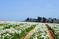Ranunculus Flower Field Royalty Free Stock Image