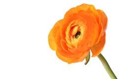 Ranunculus flower Stock Image