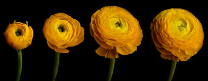 Ranunculus Flower Series. Time lapse series of a yellow Ranunculus flower blooming Royalty Free Stock Photo