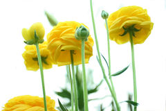 Ranunculus flowers Royalty Free Stock Photo