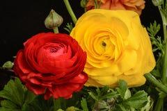 Ranunculus flowers Royalty Free Stock Images