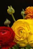 Ranunculus flowers or francesilla Royalty Free Stock Image