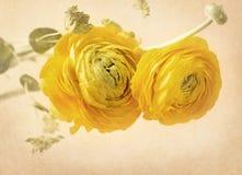 Ranunculus giallo fotografie stock libere da diritti