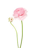 Ranunculus isolated on white Royalty Free Stock Image