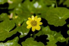 Ranunculus jaune de renoncule de fleur de plan rapproché sur un fond des feuilles vertes dans le jardin photos stock