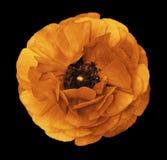 Ranunculus jaune-orange Renoncule orange de fleur sur le fond noir d'isolement avec le chemin de coupure sans ombres Plan rapproc Photo libre de droits
