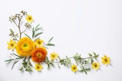 Ranunculus jaune sur le fond blanc Photo stock