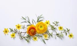 Ranunculus jaune sur le fond blanc Images stock