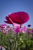 Ranunculus kwiat obraz stock