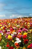 Pole kwiaty Obraz Stock