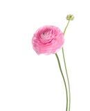 Ranunculus Stock Images