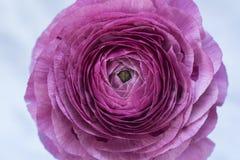 Ranunculus lub jaskieru kwiat makro- Zdjęcie Stock