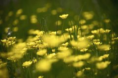 Ranunculus. Meadow of yellow buttercup flowers on green grass royalty free stock images