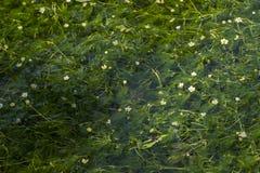 Ranunculus nipponicus flowers Royalty Free Stock Photo