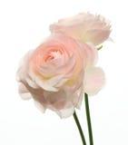 Ranunculus op een witte achtergrond royalty-vrije stock afbeeldingen