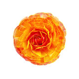 Ranunculus orange Stock Photography