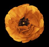 Ranunculus orange-yellow. Orange flower buttercup on isolated black background with clipping path without shadows. Close-up. For d royalty free stock photo