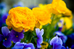 Ranunculus and pansies Stock Photography