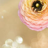 Ranunculus persa jaskiery Zdjęcie Stock