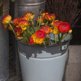 Ranunculus (persian buttercups) in pail, Royalty Free Stock Photography