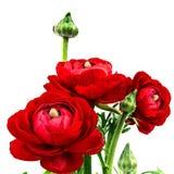 Ranunculus Perzische geïsoleerde boterbloemen, stock foto's