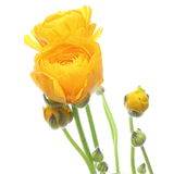 Ranunculus Royalty Free Stock Images